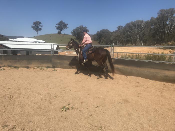 3yr Old Stockhorse Gelding