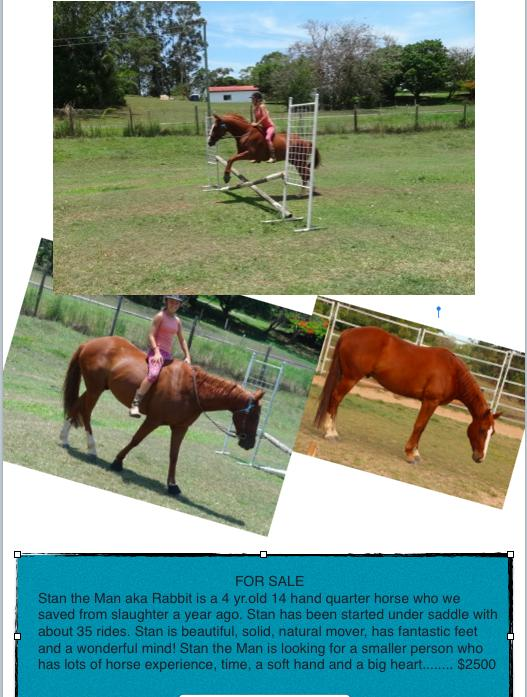 Stan the Man is a 4 yr.old 14 hand quarter horse