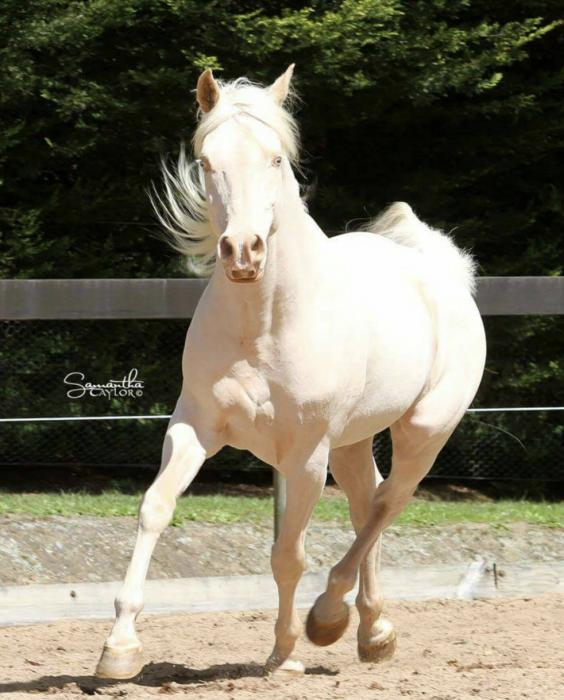 *FOR SALE* Beautiful and Quiet Cremmello stallion