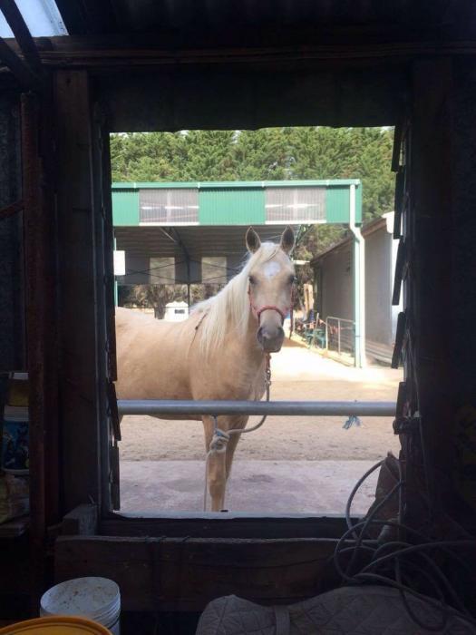 Glendhu Rainman - rising 5yo Part Arabian