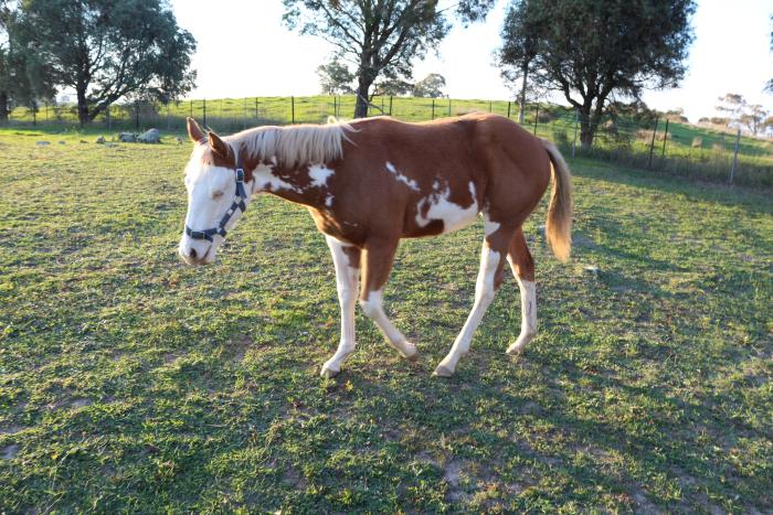 Weanling Coloured Filly