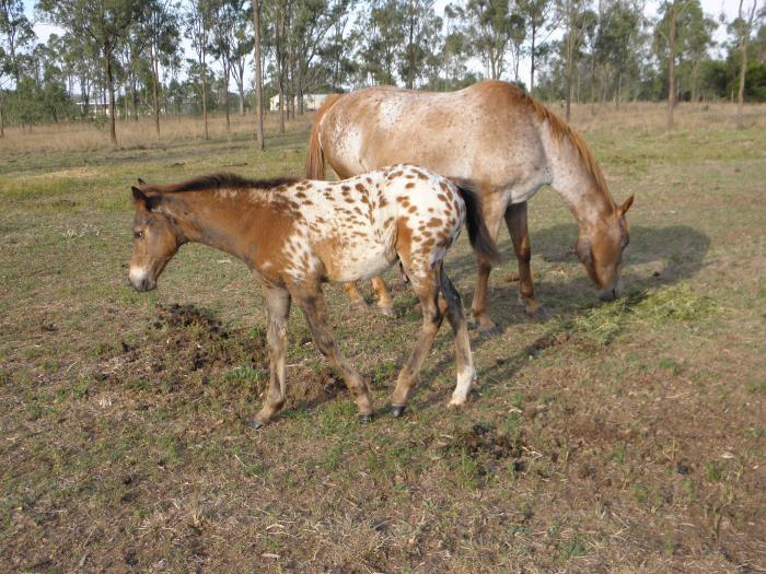 Appaloosa Mare & Foal