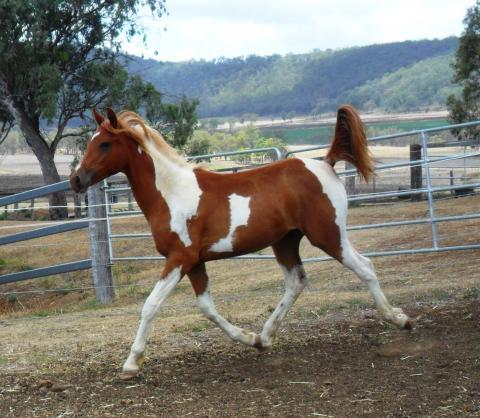 Part Arabian Tobiano Yearling Filly