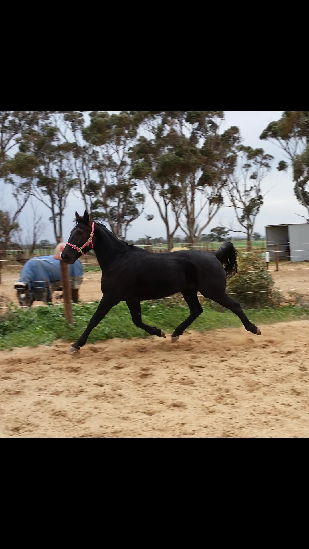 7 yr old, 15.2hh black/brown standardbred gelding