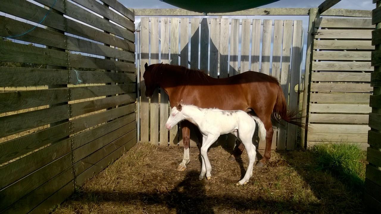 Paint/Quarter Horses for sale