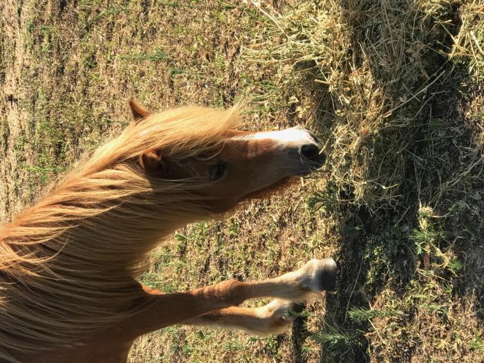 Miniature Pony Mare Buggzy
