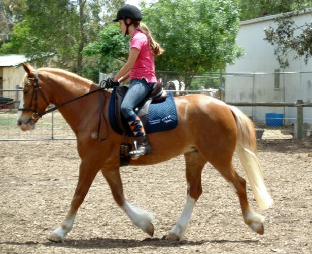 Pony Dressage, Super Allrounder, Welsh x Warmblood
