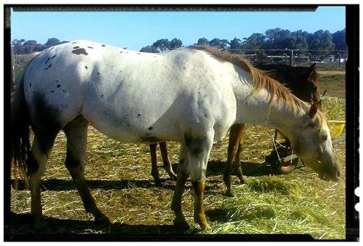 Delpine Miss Concenting Appaloosa Broodmare
