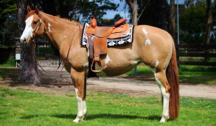 "Gorgeous Tunza Loot mare ""Carmody"", PHAA 12681"