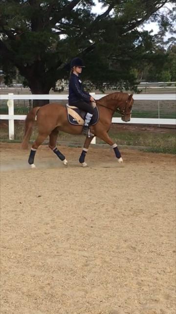 Show/ Dressage/ Eventing Pony