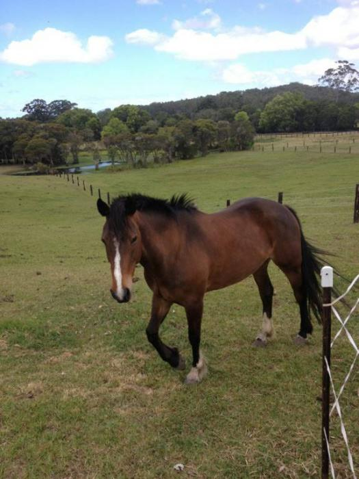 Quiet Waler x Clydie Endurance Trail Hunting 15hh
