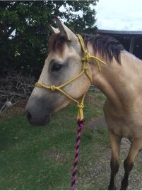 Young Buckskin Andalusian x Quarter Horse Gelding