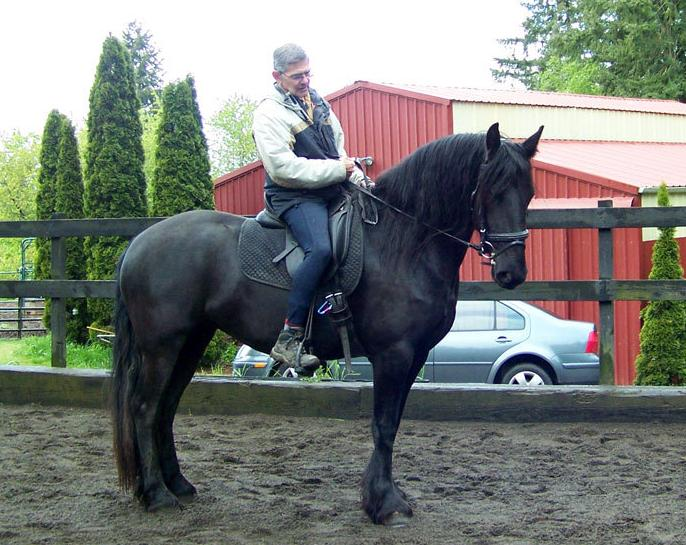 Gelding Friesian Horses for sale
