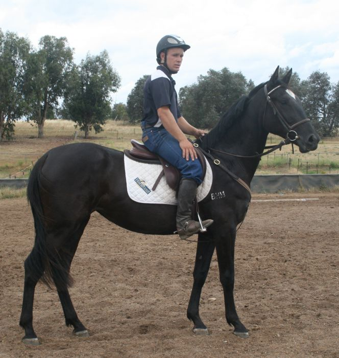 Spanish Warmblood Filly - Dual registered
