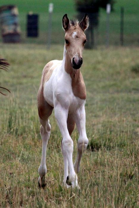 Buckskin Pinto Stock Horse Filly