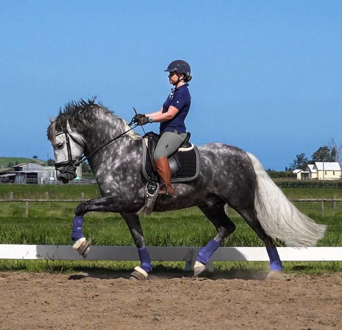 Imported PRE Stallion - Dressage, W.E. Jumping