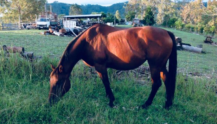 Lovable, gentle Thoroughbred Mare