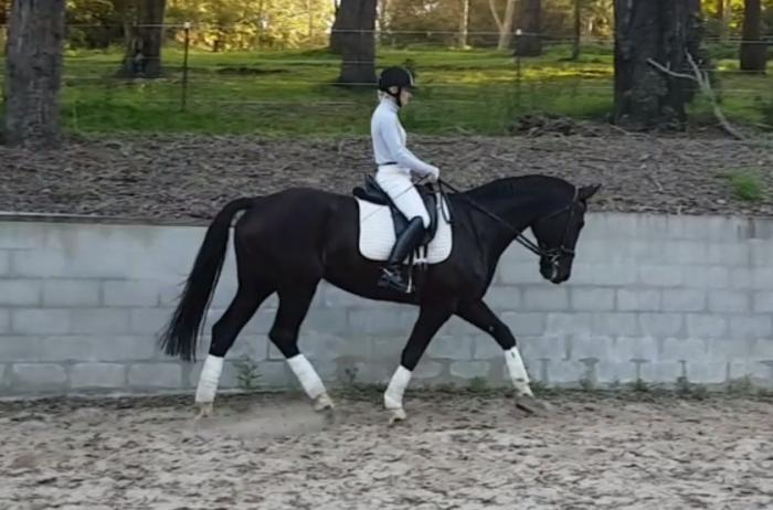 Beautiful Black Depardieu Warmblood Mare