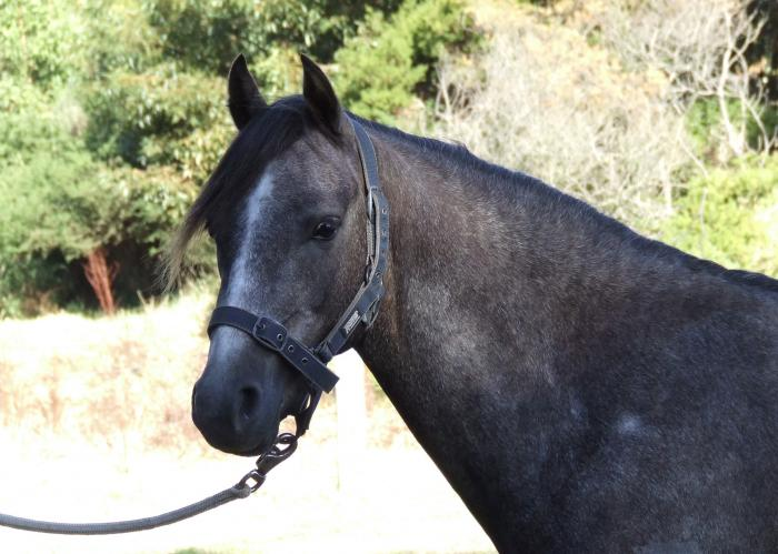 Bellaview Benedict curious friendly young gelding