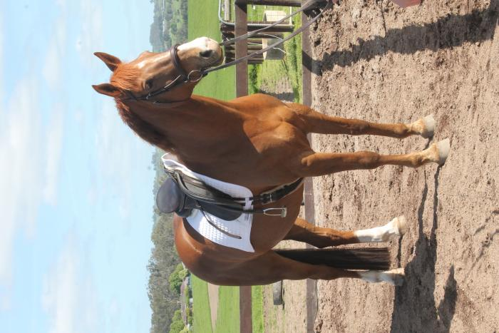 Sandy Creek Callabonna - Safe and Reliable WB Mare