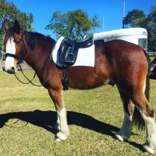 5yo Clydesdale x Percheron