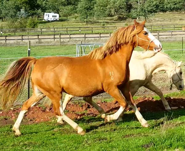 Perforamnce Pony Brood mares