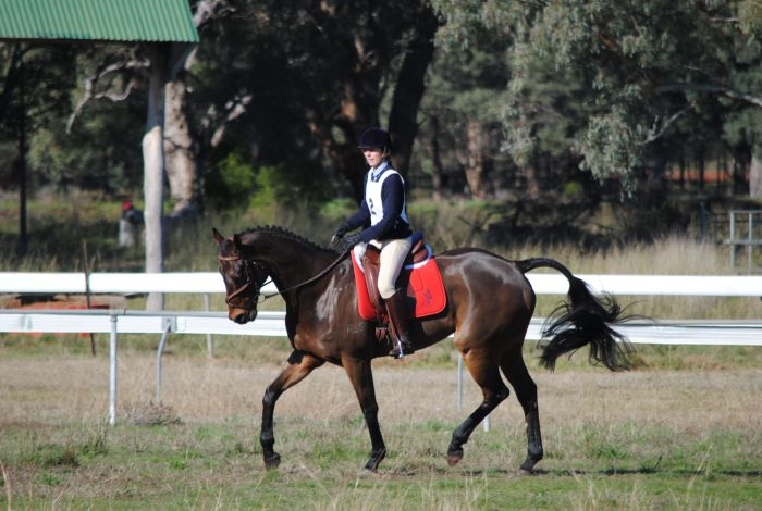 Schoolmaster for Dressage and Jumping