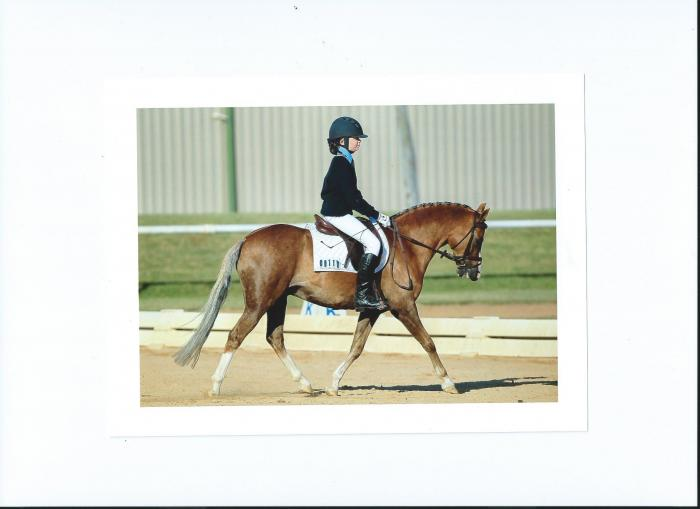 Australian Pony Gelding