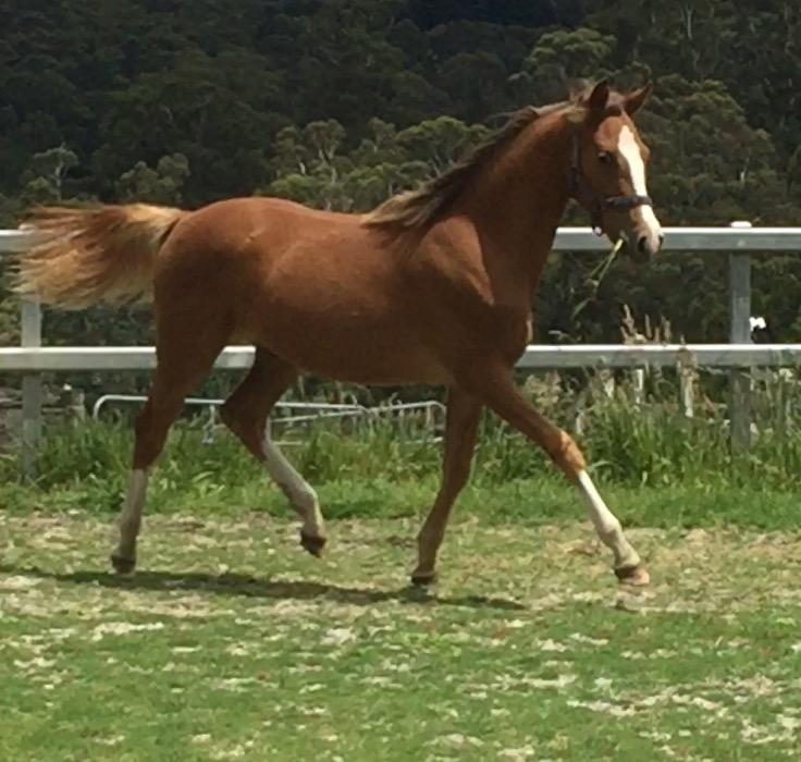 Prince Perfect yearling filly Dressage/Show