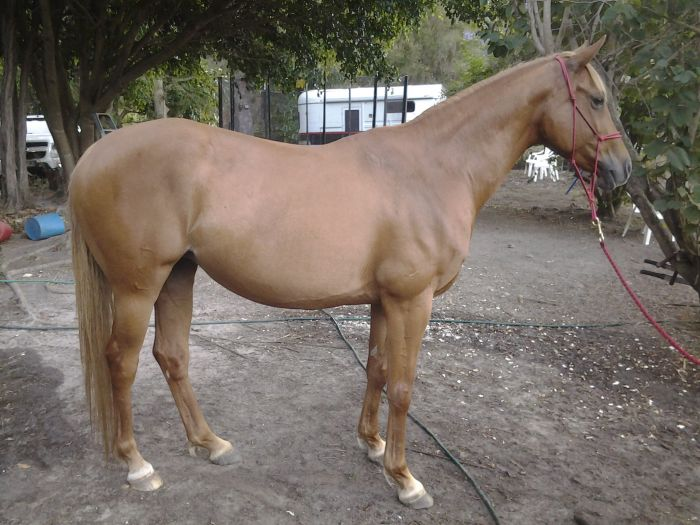 Beautiful Great Moving Warmblood Mare in Foal