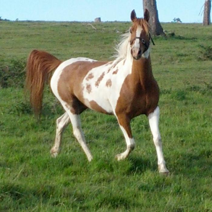 Part Arabian Tobiano Mare In Foal