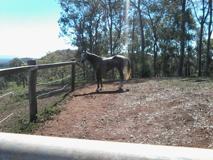 Dappled Grey Gelding 2010