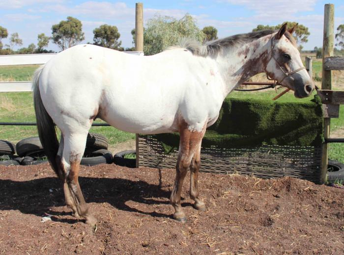 Project horse - 2yr old Appaloosa Gelding
