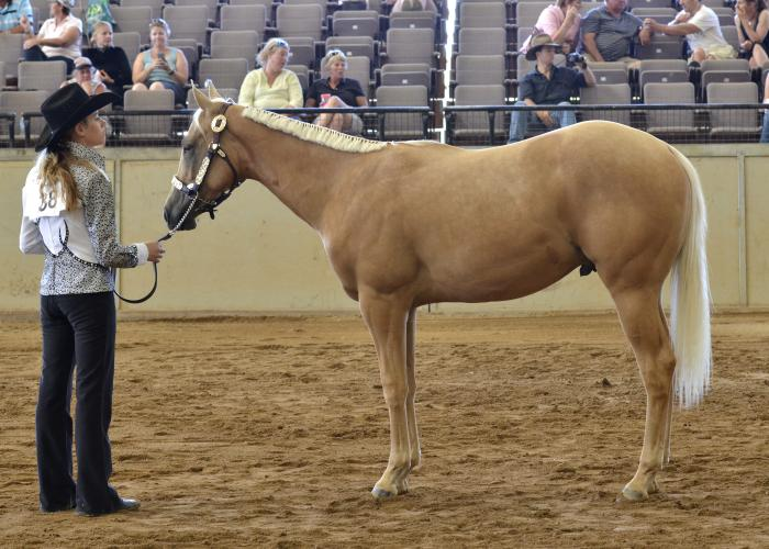 Palomino Yearling Gelding Appaloosa