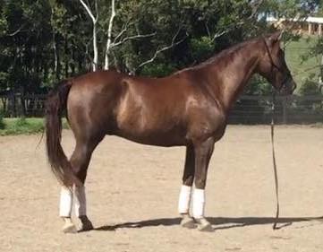 Stunning Pure Bred Morgan Horse