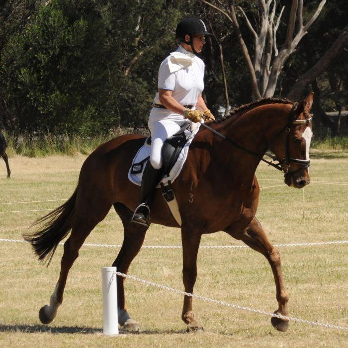 Dressage Horse - Impressive T/B Gelding 17.2