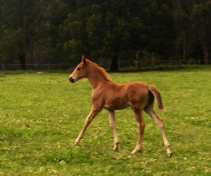 ISH Mare Foal at Foot and in Foal