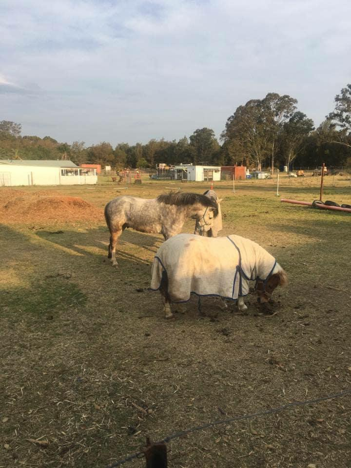 Leyrei herbs and spice registered Welsh a gelding