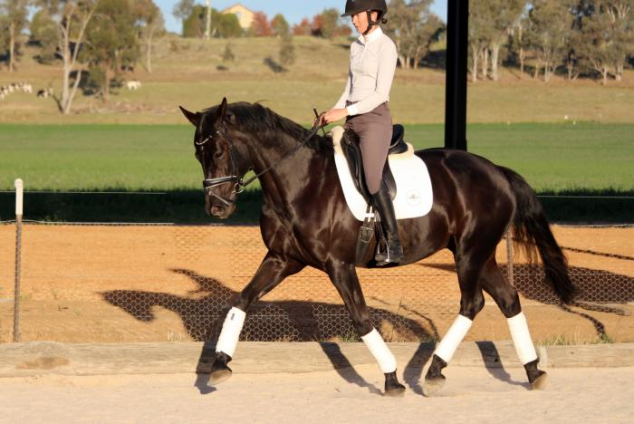 Lovely Medium trained Dressage horse plus he Jumps