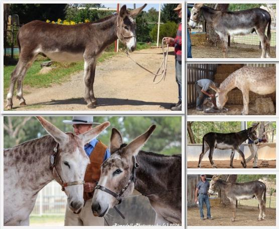 Mammoth Donkey gelding 2yrs
