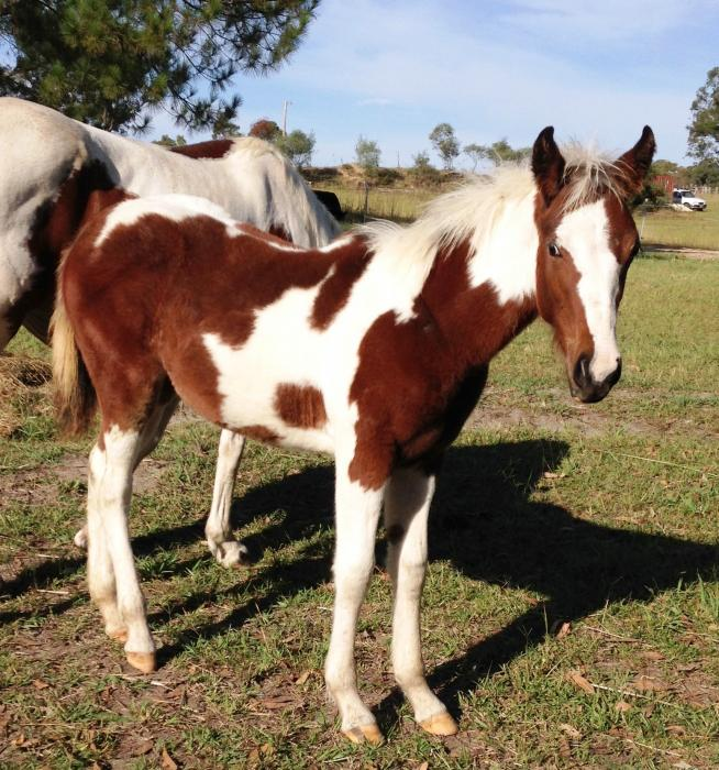 BEAUTIFUL COLOURED QHX FILLY