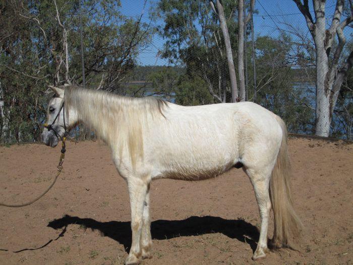 11yo Grey Pony