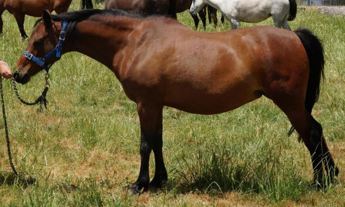 Riding Pony & Part Welsh Broodmare