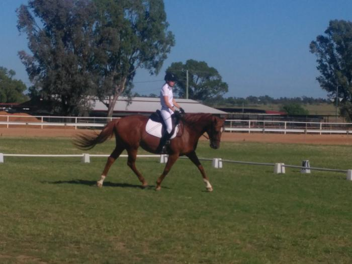 ASH x TB 8 year old - must sell