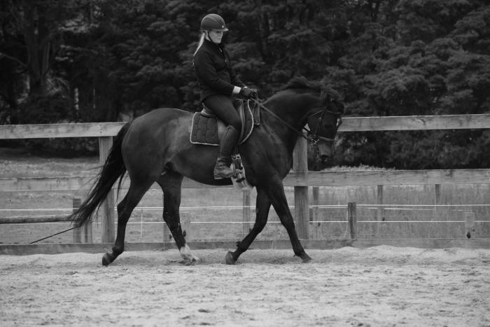 Stunning Warmblood  x thoroughbred