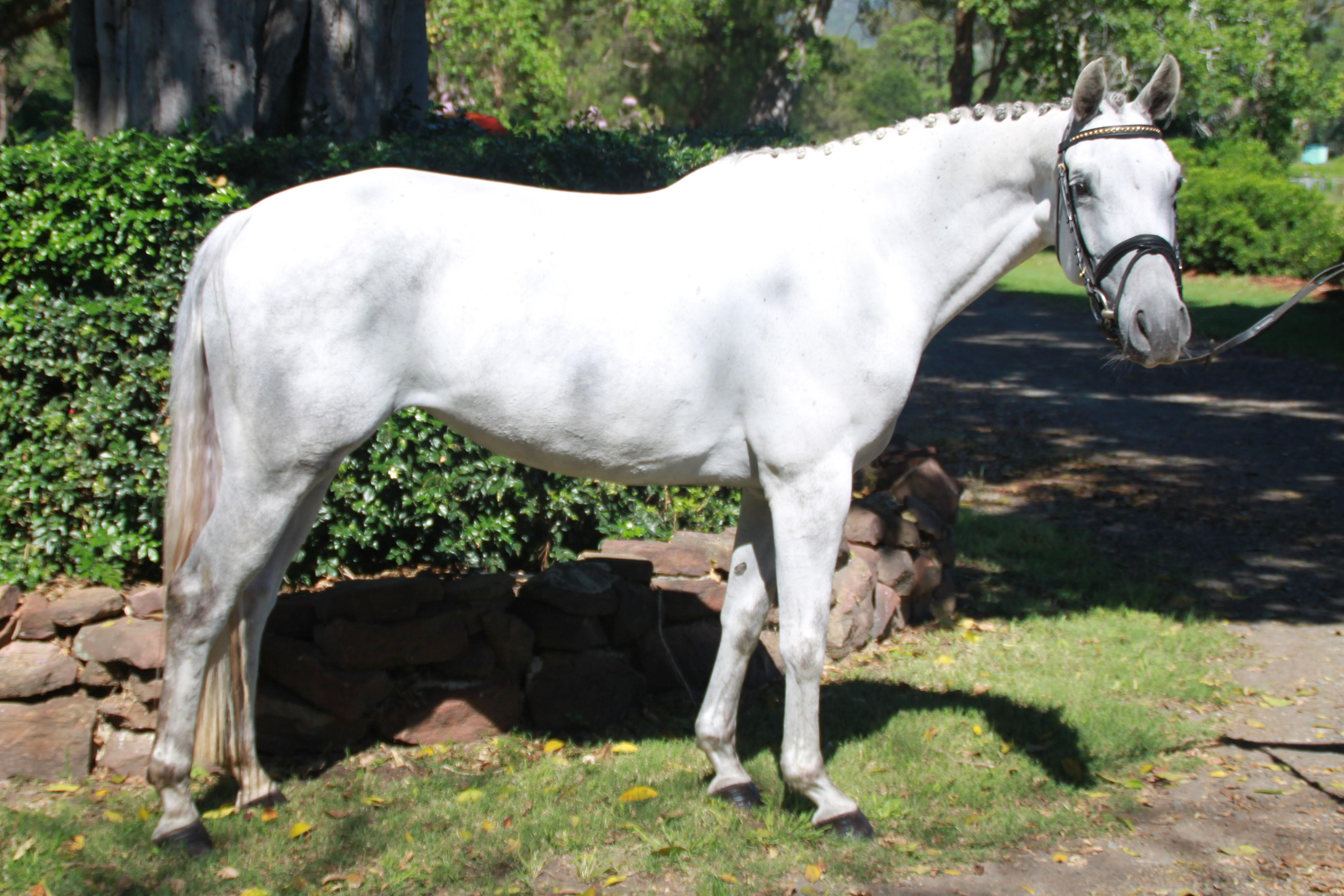 Quality Warmblood Mare, Priced to sell.