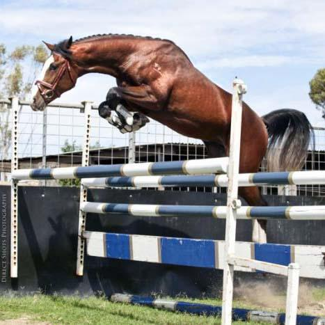 Finch Farm - Warmblood Jumping Stallions at Stud