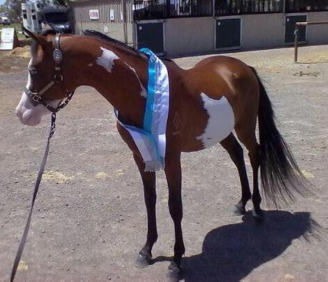 Champion 4yo Overo Pinto Pony