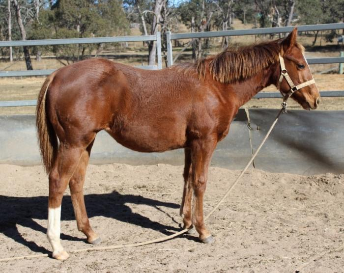 Quality Paintbred Filly