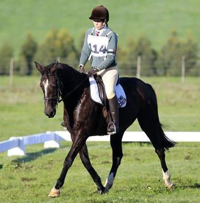 Stock Horse x Thoroughbred Mare